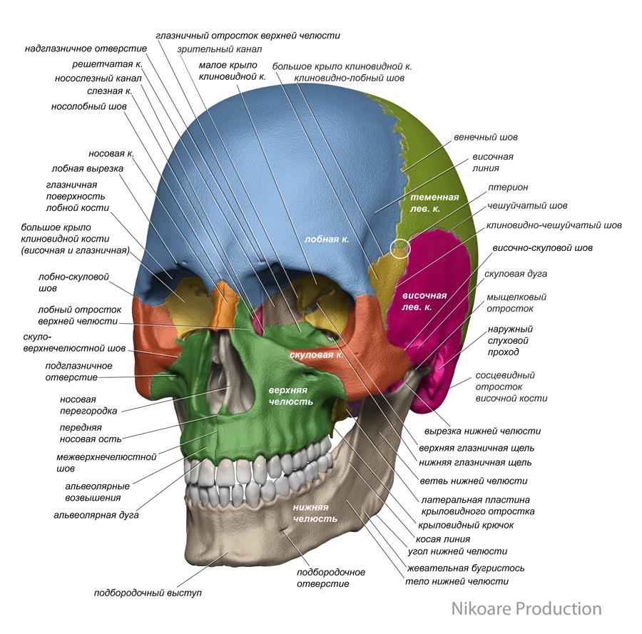 anatomy_face_3d_1
