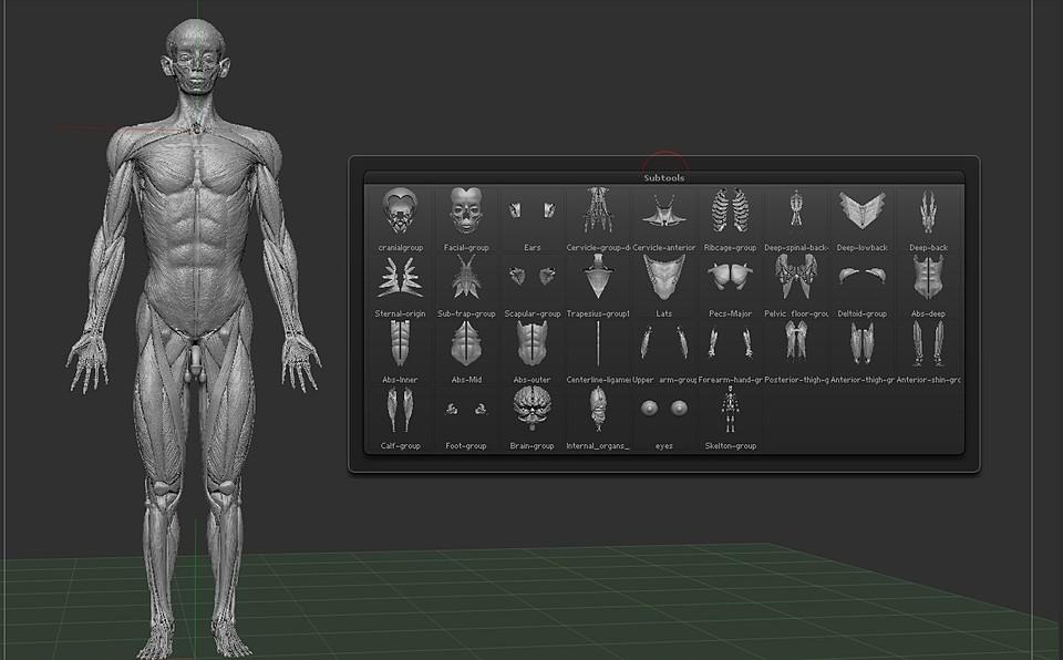 3D Anatomy free in Zbrush   3DArt